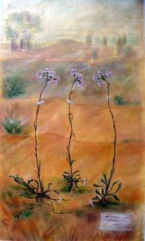 Cat´s foot Mother's Herbarium