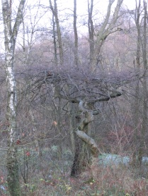Twisted Beech Forest